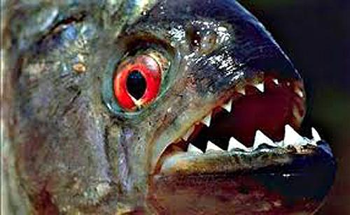 cá piranha