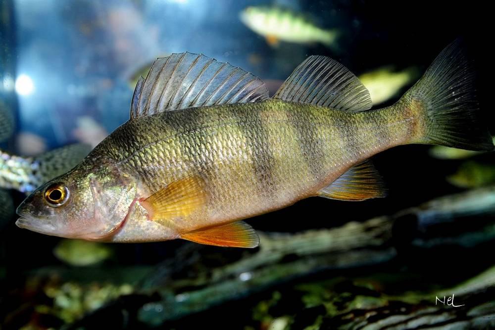 cam thảo và hoàng kỳ trên cá, thảo dược trong thủy sản, tăng trưởng cá, cá rô vàng