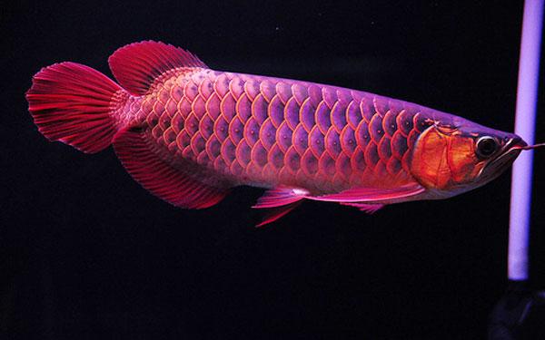 cá rồng đỏ, giá cá rồng đỏ, huyết long ngư, cá huyết long ngư, cá rồng Châu Á