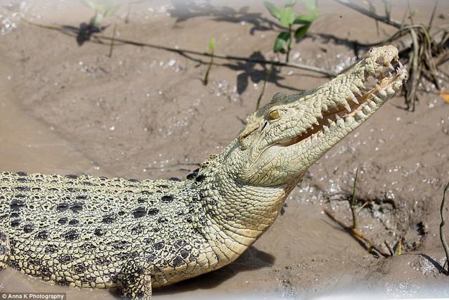Xuất hiện cá sấu trắng quý hiếm tại Australia