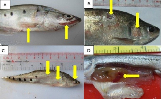 thảo dược trong thủy sản, Naringenin trong thủy sản, Naringenin trong cá, bệnh cá,