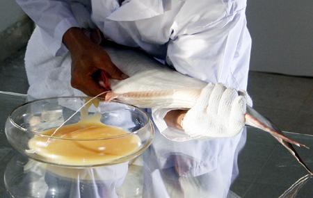 sức sinh sản cá tra, cá tra, sinh sản cá tra, bổ sung nghệ vào thức ăn cá tra, bột nghệ trong thức ăn cá tra