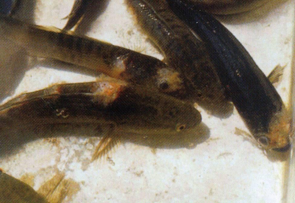 Phòng và trị một số bệnh thường gặp ở cá lóc - Cá lóc đen