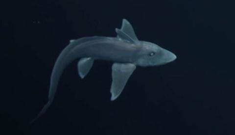con cá mập ma