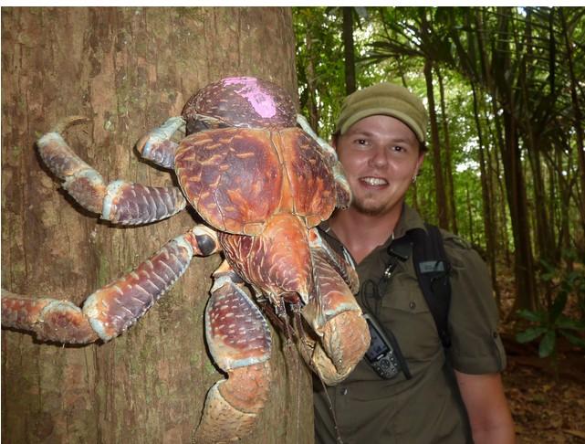 """Cua dừa, loài cua """"khủng"""" nhất trái đất"""