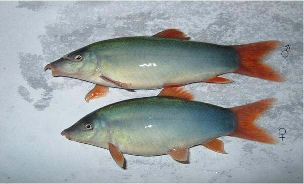 Cá heo nước ngọt, cá heo, cá heo xanh đuôi đỏ