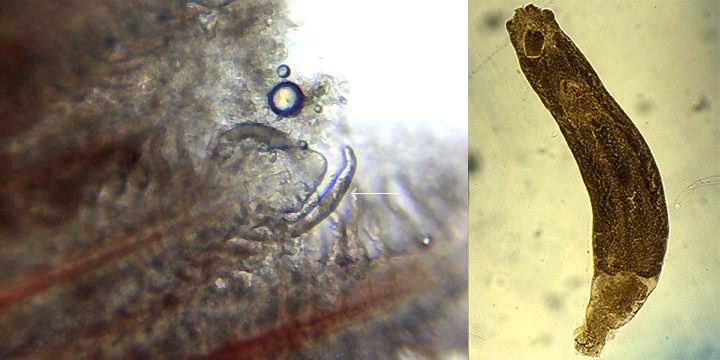 Dactylogyrus, Dactylogyrus in fish, Dactylogyrus trên cá, cá bệnh, bệnh cá, bệnh ký sinh trùng trên cá