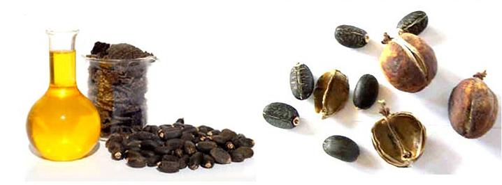 cây dầu mè, nguyên liệu thức ăn, thức ăn thủy sản, dầu mè lên men, thay thế bột cá