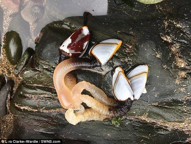 sinh vật biển, sinh vật biển lạ, hàu, hàu cổ ngỗng