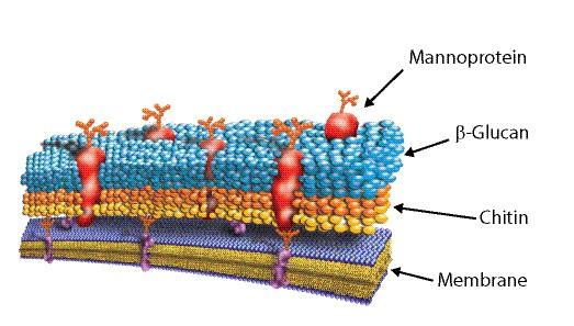 mannoprotein, mannoprotein với tôm, tôm thẻ, biofloc, nuôi tôm