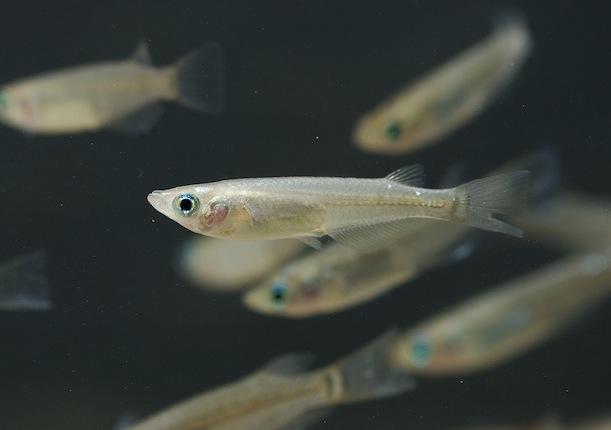 cá nổi đầu, nguyên nhân cá nổi đầu, bệnh trên cá, cá nổi đầu vì sao