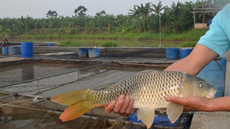 nuôi cá, nuôi cá chép giòn, nuôi cá chép, kỹ thuật nuôi cá chép giòn