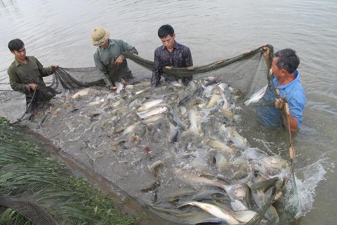 nuôi cá trắm giòn, kỹ thuật nuôi cá trắm giòn, nuôi cá trắm, kỹ thuật nuôi cá trắm
