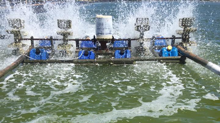 kiểm soát tảo sợi, tảo sợi trong ao, xử lý tảo sợi, thủy sản, quản lý chất lượng nước