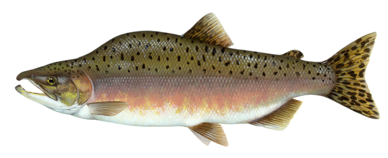 Oncorhynchus gorbuscha, cá hồi hồng, Pink Salmon (Oncorhynchus gorbuscha), Pink Salmon, Oncorhynchus gorbuscha