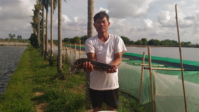 lão nông làm giàu, sinh sản nhân tạo cá chuối, sinh sản nhân tạo cá, cá giống