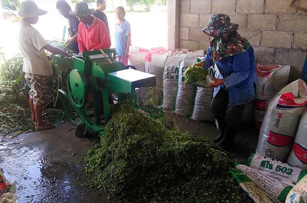 Sử dụng cỏ voi, cỏ voi, cỏ voi cho thức ăn thủy sản, Pennisenon purpurecums