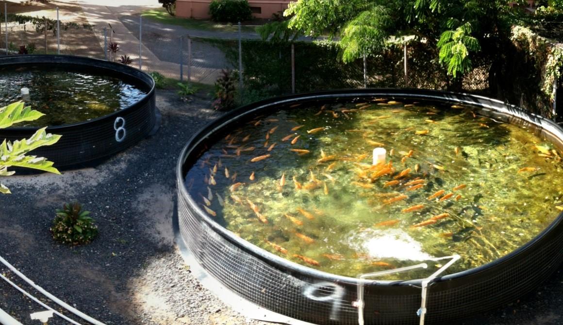vaccine cho cá, cho cá ăn vaccine kết hợp tảo, sử dụng vaccine cho cá bằng đường ăn