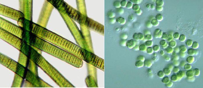 tảo lam trên kính hiển vi