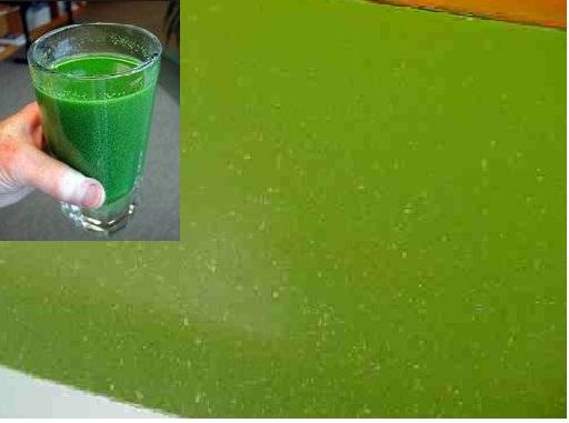 tảo lam trong ao tôm