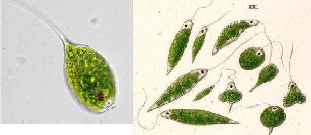tảo mắt trong ao tôm