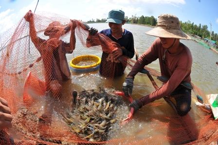 thủy sản, thu hoạch tôm càng xanh, nuôi tôm càng xanh, nuôi tôm Đồng Tháp