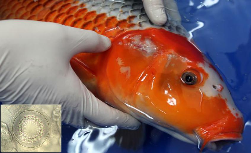 Trichodina, Trichodina trên cá, Trichodina in fish, bệnh trên cá, bệnh ký sinh trùng