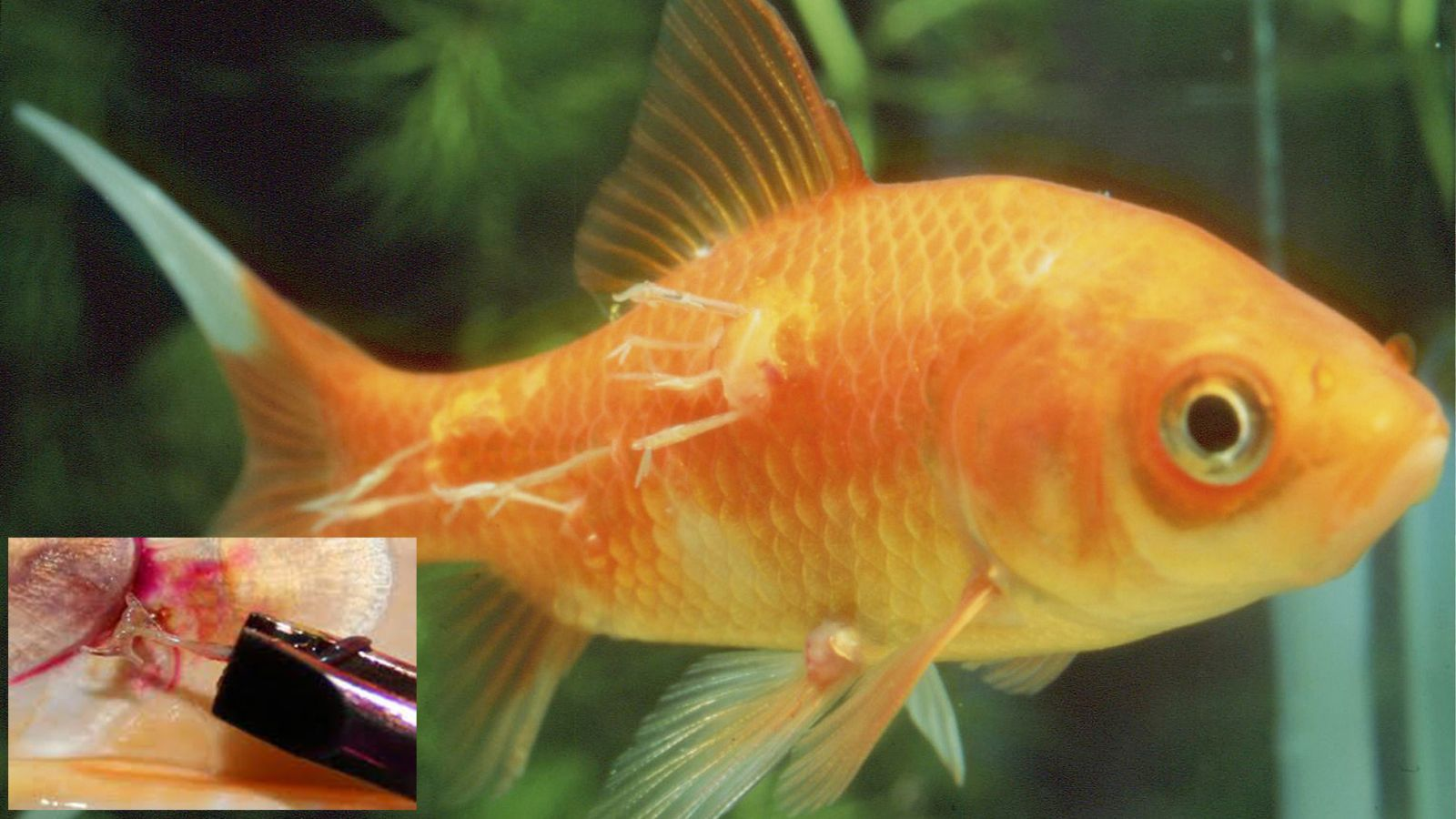 Lernaea, trùng mỏ neo, Lernaea trên cá, Lernaea in fish