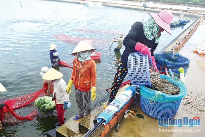 nuôi tôm, nuôi tôm lót bạt, nuôi tôm Quảng Ngãi, bệnh tôm, nuôi trồng thủy sản