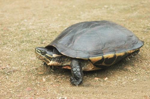 Rùa Hồ Gươm trong nhóm nguy cấp nhất thế giới