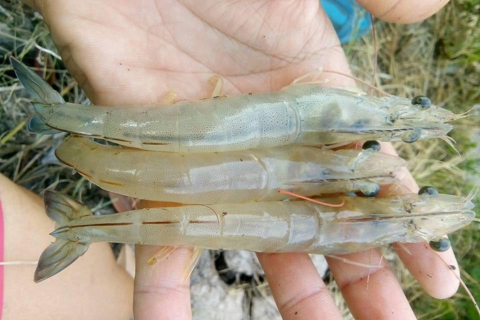 Bổ sung khoáng cho tôm thẻ chân trắng nuôi ở độ mặn thấp