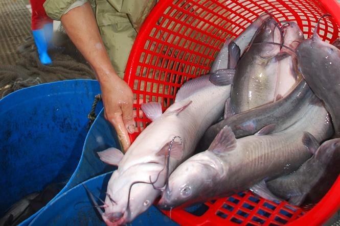 Sản xuất thành công giống cá Nheo mỹ tại Hải Dương