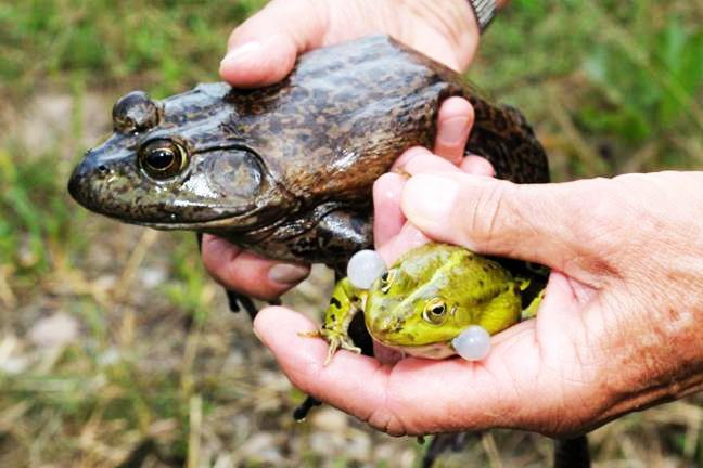 Nguyên liệu mới giúp tăng chất lượng cơ thịt ếch