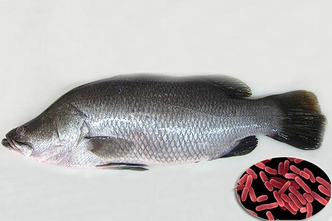 Vi khuẩn phân lập từ cá chẽm sử dụng hiệu quả cho tôm