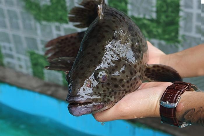 Bột sâu kích thích tăng trưởng trên cá Mú