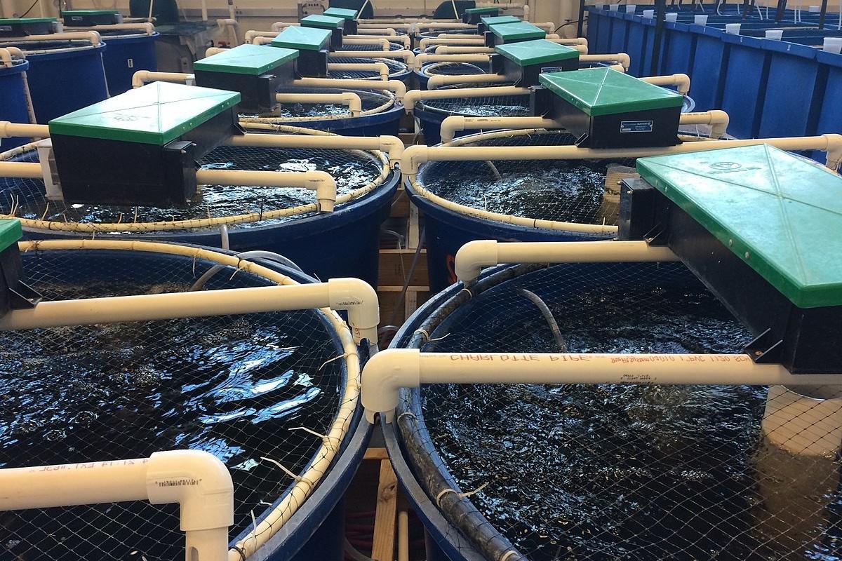 Xử lý sinh học nước thải từ hệ thống nuôi tuần hoàn bằng bột than tre