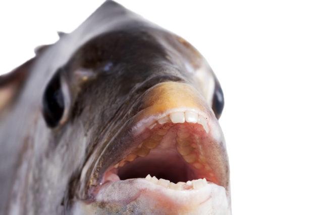 """Kỳ lạ cá với hàm răng giống người, có thể """"nhai cả thế giới"""""""