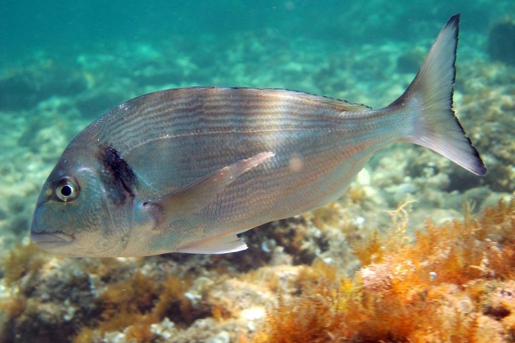 Một loại nấm men mới tăng khả năng miễn dịch mạnh mẽ trên cá