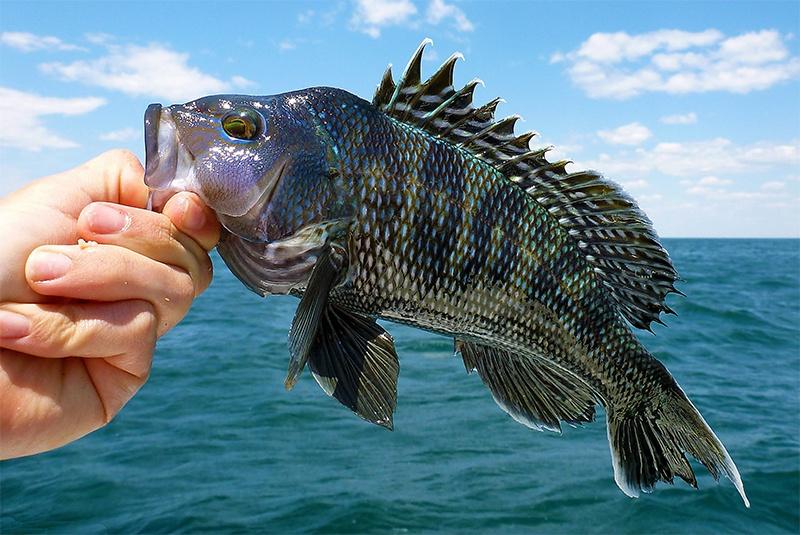 Cải thiện di truyền trên cá bằng gen tổng hợp Glucocorticoid