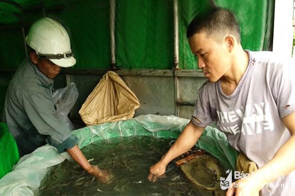 Cấp phát 10 tấn cá giống cho huyện miền núi Tương Dương