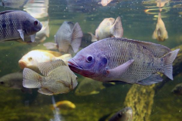 Tác dụng của Inosine monophosphate đối với cá