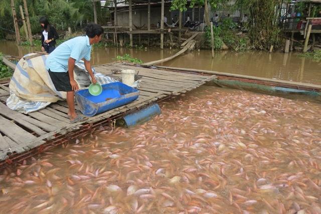 Nông dân Đồng Tháp lo lắng khi giá cá điêu hồng giảm mạnh