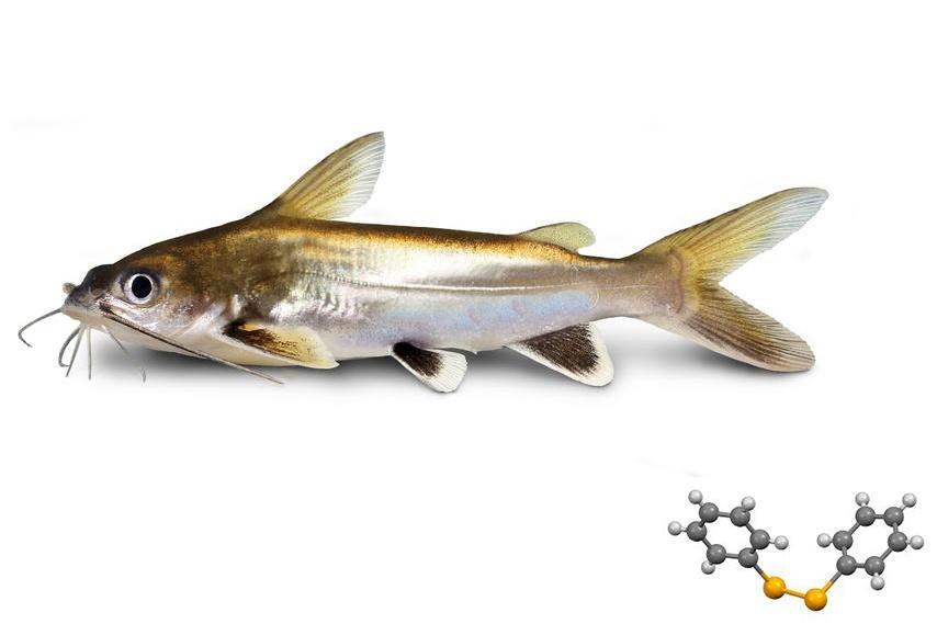 Disipenyl diphenyl và khả năng chống oxy hóa trên cá