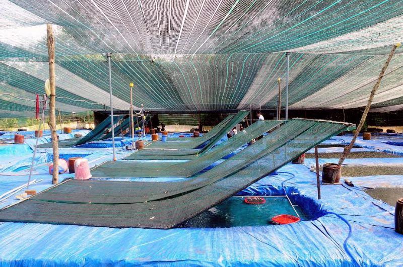 Mô hình thực hành quản lý tốt trong sản xuất cá cảnh