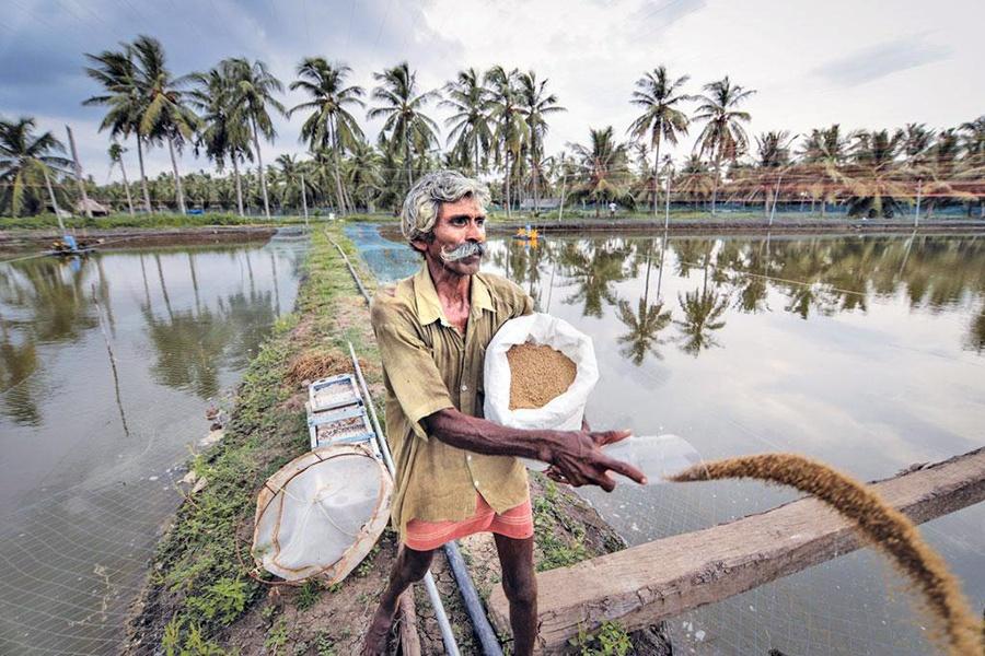 Ngành tôm Ấn Độ bị ảnh hưởng nghiêm trọng vì giá tôm giảm