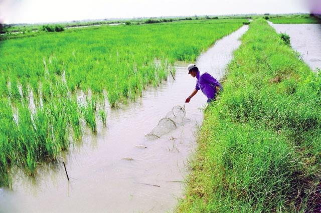 Cần giải pháp đồng bộ cho mô hình tôm - lúa