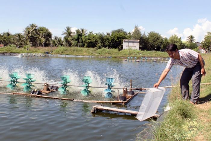 Ninh Thuận: Nuôi tôm nước lợ kỳ vọng vào những tháng cuối năm