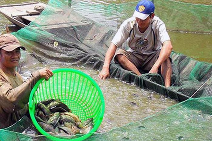 Hậu Giang: Nuôi cá rô đầu vuông trúng giá