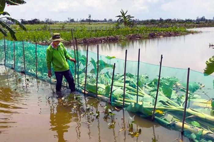 Thu nhập cao nhờ nuôi cá mùa nước nổi thay thế trồng lúa vụ 3