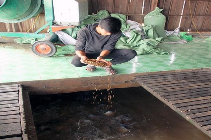 Vĩnh Long: Nuôi cá điêu hồng lãi 9.000- 10.000 đ/kg